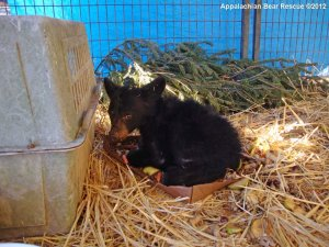 Appalachian Bear Rescue cub #12