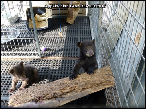cubs in large pen