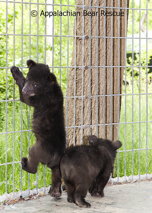 cub climbing on side of pen