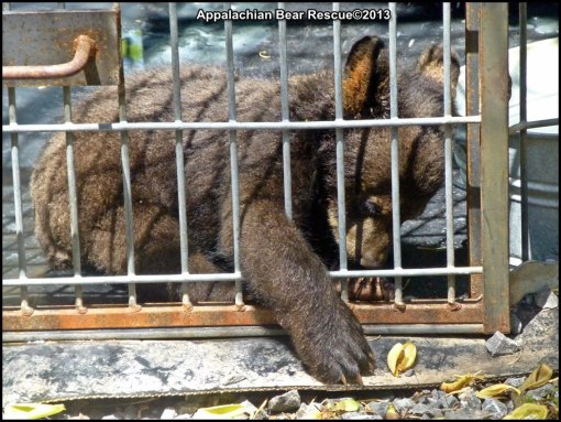 Cub reaching through cage