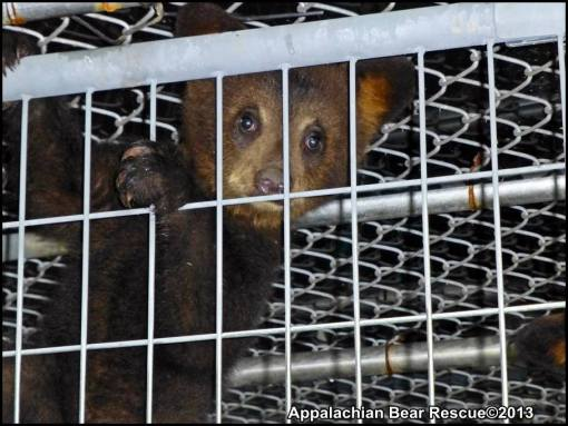 cub climbing in cage