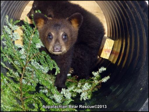 2 cubs in culvert den