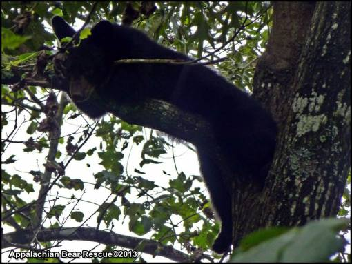 Cub lying on tree limb
