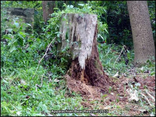 Stump, shredded by cubs.