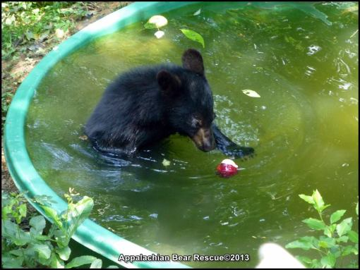 Bennie in pool with apple.