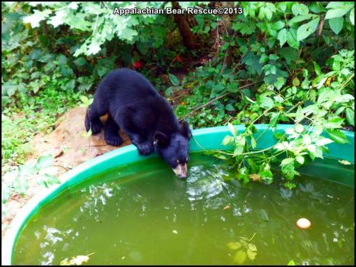 Bennie drinks from pool