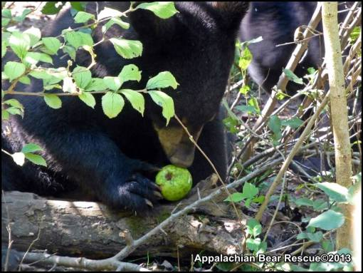 Cub with apple.