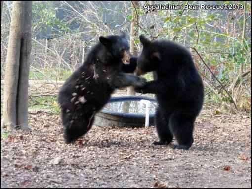 Sparring bears.