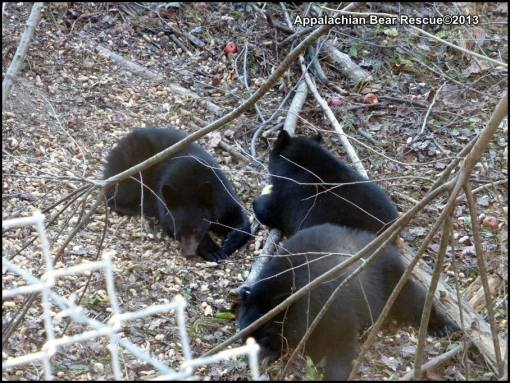 3 cubs eating