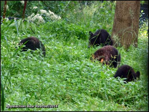 4 cubs foraging.