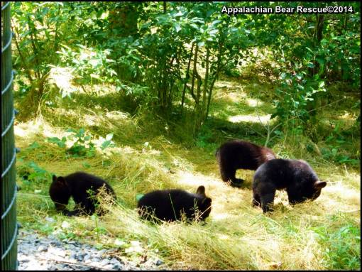 Four cubs foraging