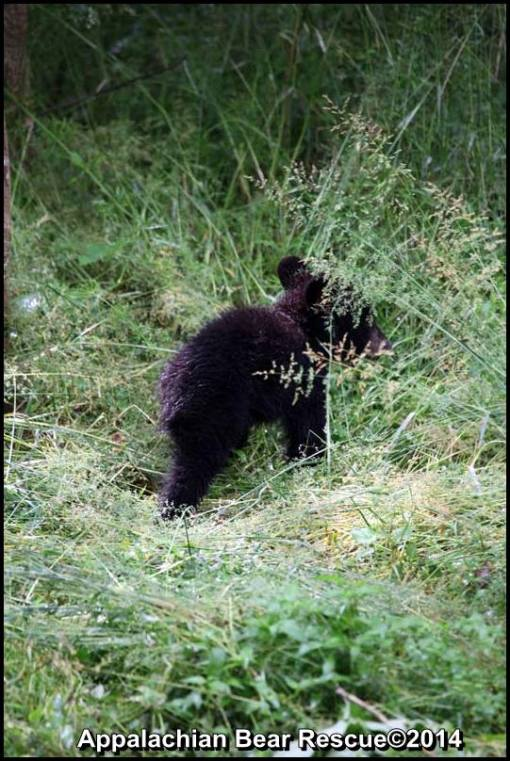 Cub goes into grass.