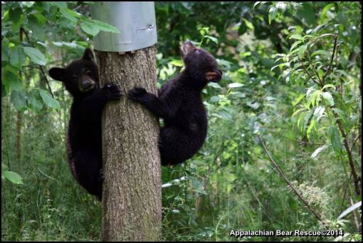 Two cubs on tree.