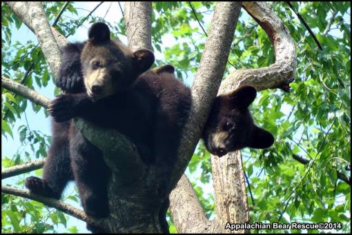 3 cubs in tree
