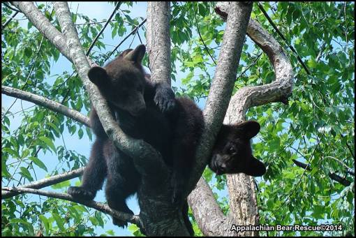 Tangled cubs