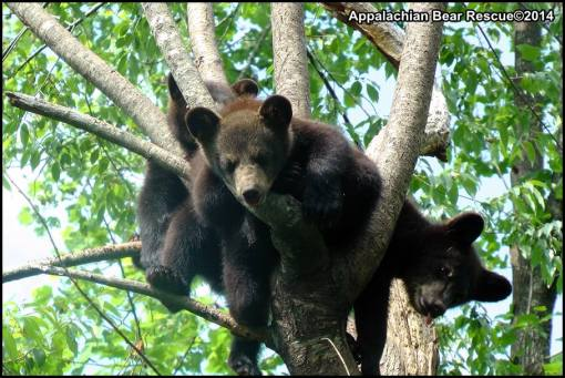 More tangled cubs