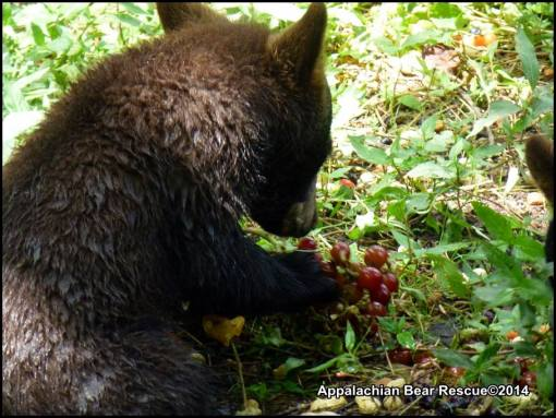 Cub with grapes