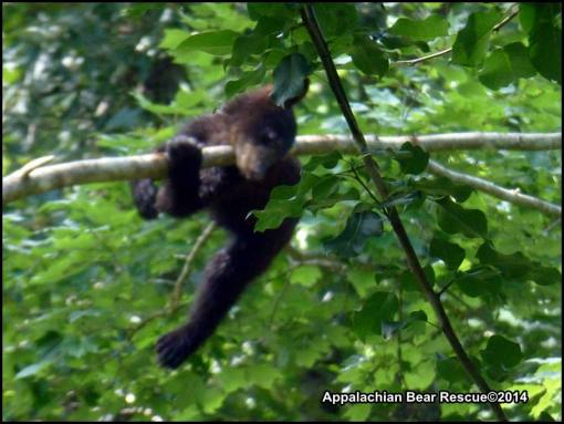 Cub slips off branch