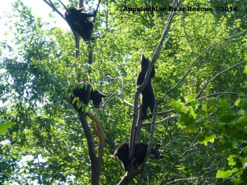 Four cubs in the tree