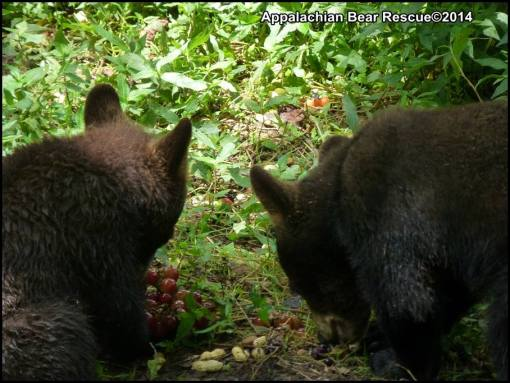 Two cubs eating