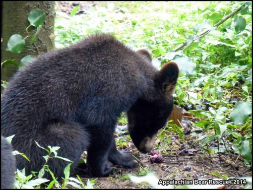 Cub sniffing food