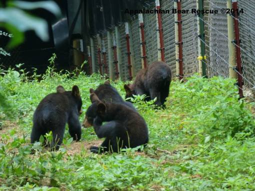 Cubs foraging