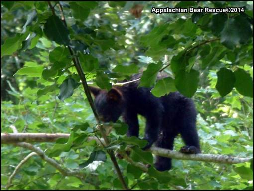 Cub in tree, eating