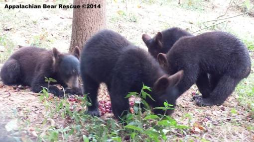 4 cubs foraging