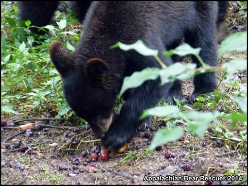 Cub uses paw to sort berries.