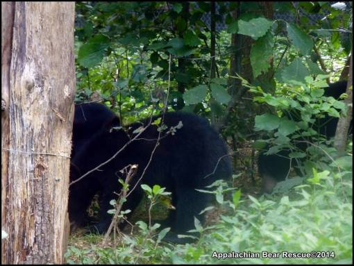 4 cubs forage
