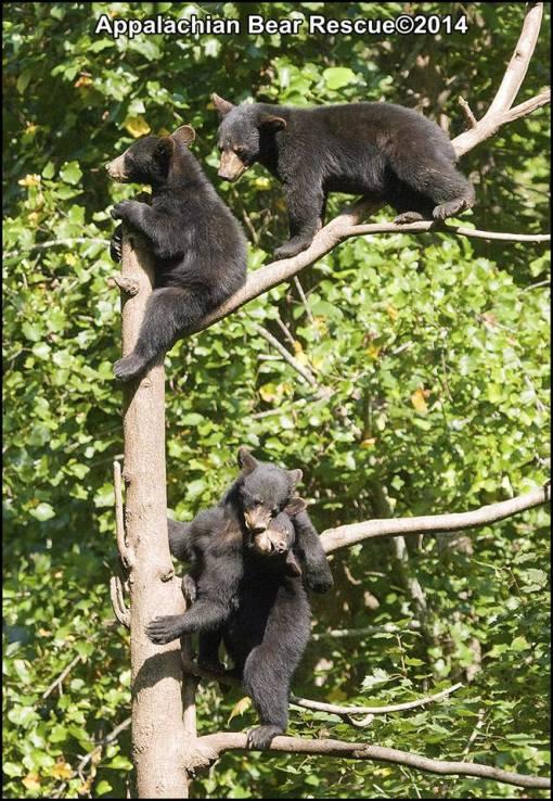 4 cubs in tree