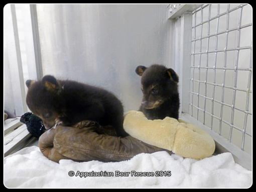 2 cubs in nursery