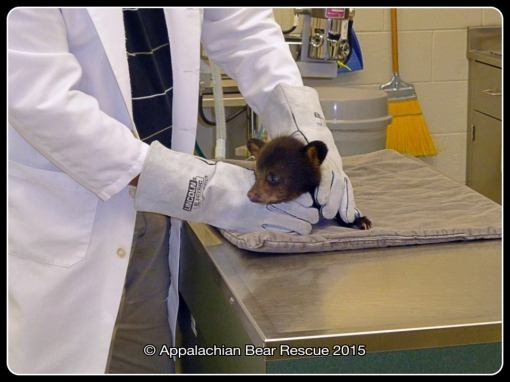 Vet holds cub in place.