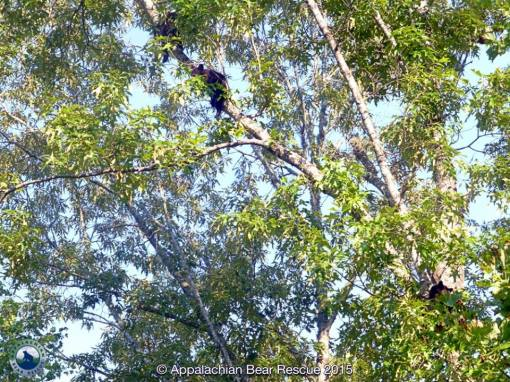 3 cubs in 1 tree