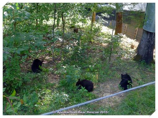 3 cubs forage
