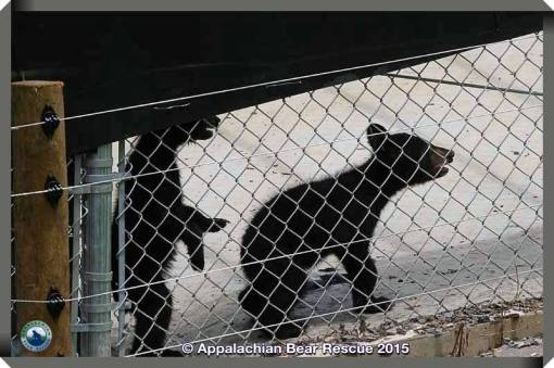 2 cubs in pen