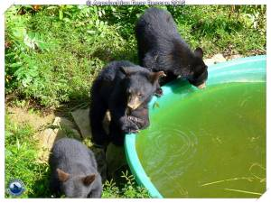 3 cubs at pool