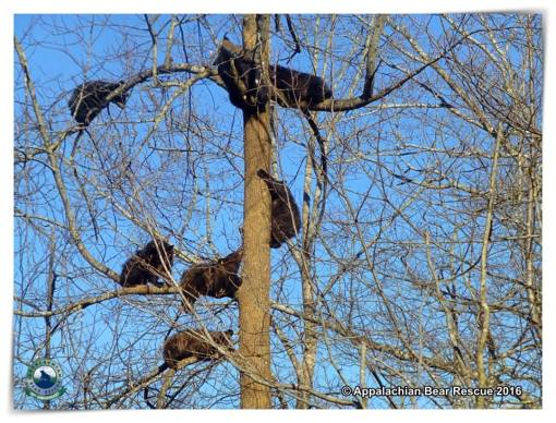 7 cubs in a tree