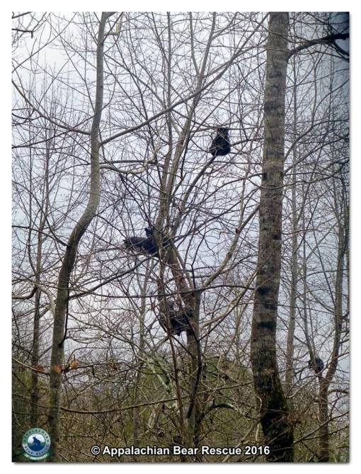 Cubs in trees