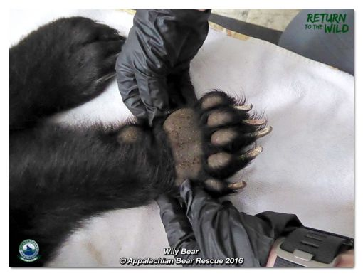 Wily's paw