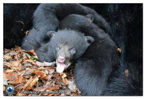 Cub sticks out tongue