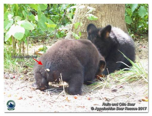 Grapes pears apples bears appalachian bear rescue for Rollos otto