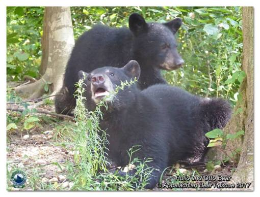 Cubs on a hot day appalachian bear rescue for Rollos otto