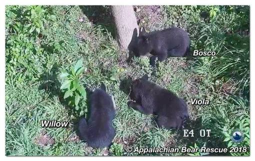 38124910_2085130211499560_4626107423390695424_n_07-31_cubs-foraging