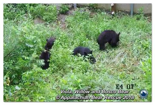 38391681_2090116451000936_7142151724118048768_n_08-03_cubs foraging2