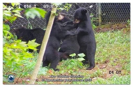 40671504_2142121485800432_7245017256009138176_n_09-04_two-cubs-standing